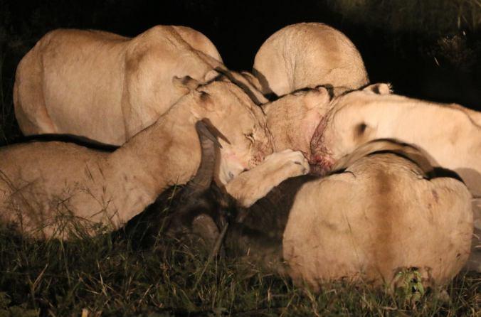 tshukudu bush lion lion chronicle blog