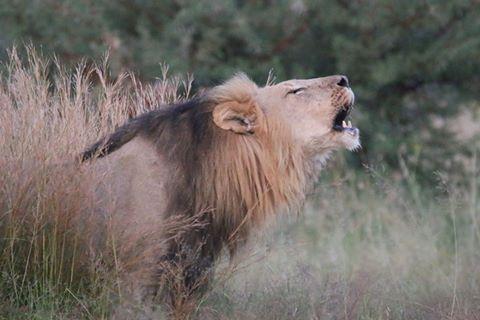 tshukudu bush lodge lion chronicle blog