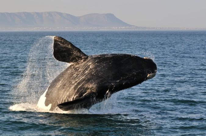 hermanus-home-widgets-thingstodo-whale-watching