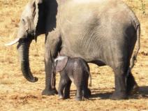 Hwange elephant and child