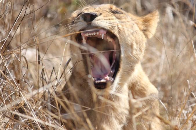 Hwange Lioness 1