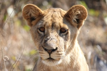 Hwange Lioness 2