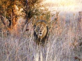 Hwange Safari Lion