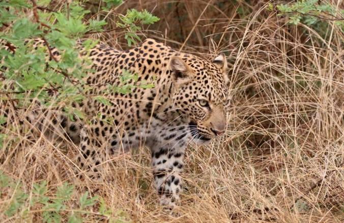 tshukudu leopard blog 2.jpg