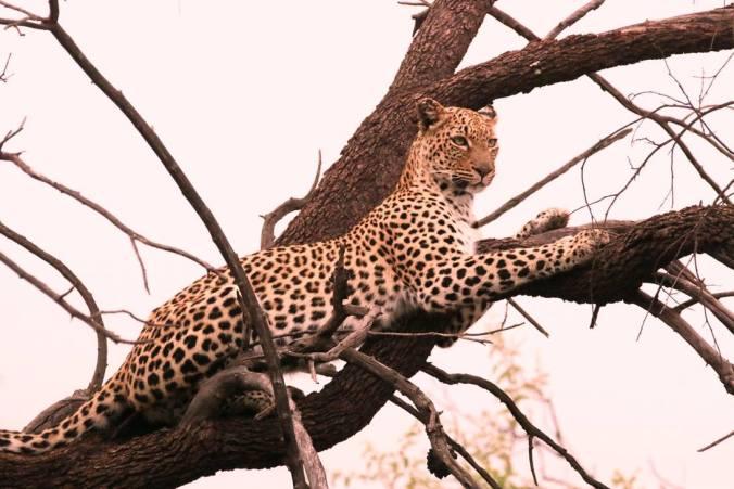 tshukudu female leopard 1